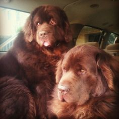 brown newfoundland dog - Google Search