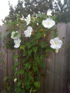 Moon Flower - These flowers begin to open as the sun goes down and they have the most amazing fragrance. By morning they are gone...Perfect on a trellis....