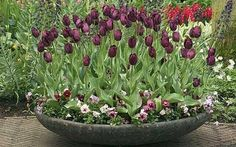 Tulips in a planter with violas