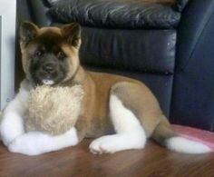 Akita Puppy oh my goodness I want one!
