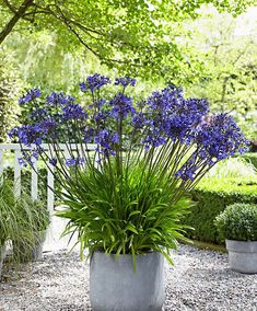 Whether you want to plant for the first time or renovate your garden, consider getting some Agapanthus Peter Pan.There are many cool things about this beautiful flower that will probably entice you. 10 Amazing Facts Of Agapanthus Peter Pan - African Lily Back Gardens, Outdoor Gardens, Indoor Garden, Agapanthus In Pots, Amazing Gardens, Beautiful Gardens, Agapanthus Africanus, Flower Garden Plans, Spanish Garden