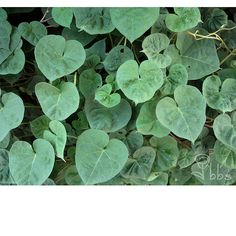 nature photography vine photograph leaves photo by favoriteflower