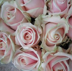 Sweet Avalanche Rose opens very full and beautifully. It's also a very large headed rose. Rose Wedding, Floral Wedding, Wedding Bouquets, Wedding Flowers, Pink Rose Bouquet, Pink Roses, Pink Flowers, Pale Pink, Pink White