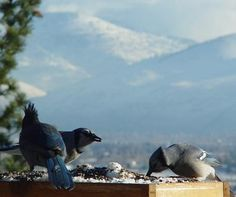 Stellers & Blue Jays sharing the view here at #BlueMountainBedandBreakfast in Missoula, #Montana.  Come enjoy a warm, comfy bed, the views and breakfast with us this winter!  It's a beautiful place if you love #birding.  #BlueIsBeautiful