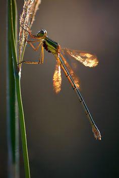 Dragonfly by Vladimir Neimorovets