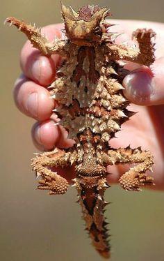 Lagarto diabo-espinhoso ('Moloch horridus'), mostrando a barriga cheia de espinhos. http://diariodebiologia.com/