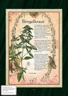 Bingelkraut - alte Hexen- und Alchemistenpflanze. Sie soll Bestandteil der Flugsalbe gewesen sein, mit deren Hilfe sich die Hexen auf den Weg zum Blocksberg gemacht haben sollen.