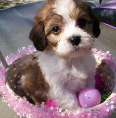 Cavachon puppy. How adorable.   ...........click here to find out more     http://googydog.com