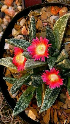 Mini Plants, Indoor Plants, Cacti And Succulents, Planting Succulents, Drought Tolerant Garden, Emotional Support Animal, Succulent Care, Fungi, Beautiful Gardens