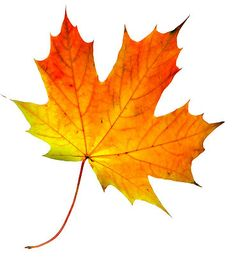 Leaves are beginning to turn. Baseball playoffs have begun. Christmas decor is on display at Lowe's.) It must be fall! Autumn Art, Autumn Leaves, Maple Leaves, Fall Leaves Images, Fall Leaves Tattoo, Botanical Illustration, Botanical Art, Watercolor Leaves, Watercolor Paintings