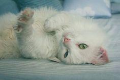 Gluttonycie Felopudes, é o nome científico dessa pose  3/3 :: Projeto Xerimbabo ~  #petphotography #fotografiapet #pet #animal #animaux #bicho #amobicho #bichano #gato #mãedegato #horadogato #gatosbrasil #loucadosgatos #instagato #gatto #chat #neko #nekostragam #cat #catlovers #catsofinstagram #instacat #caterday #lovecats #meowmeow #canon #canonbr #135mm #xerimbaboproject