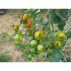 tangy or sweet, yellow or gold, cherry tomatoes top off summer salads, sweeten party trays, and treat the kids. Cherry tomato plants ship in Spring at proper planting time. Vegetable Seed, Plants, Chamomile Seeds, Rose Seeds, Seeds, Morning Glory Seeds, Black Rose Seeds, Fruit Seeds, Cherry Tomato Plant