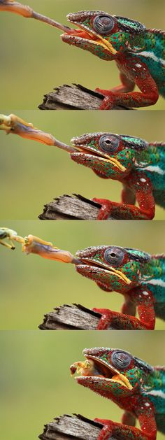 Panther chameleon feeding sequence by Angi Nelson