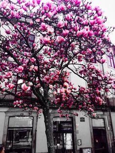 Esqueceram-se das folhas tão grande era a pressa de florirem. Magnólias. Jorge Sousa Braga