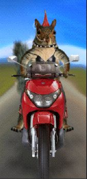 Squirrel Motorcycle Squirrels Cycle Bike Bicycle Funny LOL Laughs Laughing icon icons emoticon emoticons animated animation animations gif gifs animal animals photo ChipmunkCycle.gif