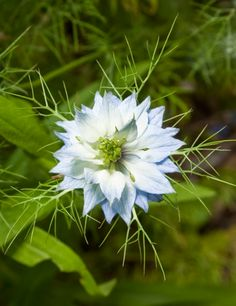 Nigella damascena kaldari, common name love-in-a-mist. Native to southern Europe, it was cultivated, and has been a popular garden plant since Elizabethan times.