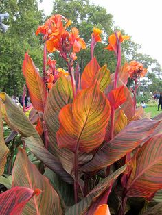 Wish I could grow this where I live !!!!  Tropicanna cannas at Melbourne flower show by tesselaarusa, via Flickr
