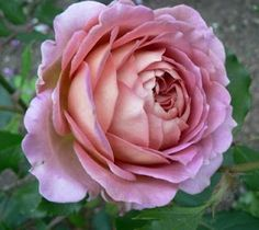 Roses at Wedgwood House and Gardens: Jubilee Celebration, David Austin Rose
