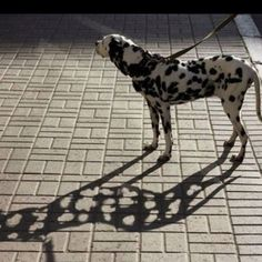 Funny pictures about A dalmatian's shadow. Oh, and cool pics about A dalmatian's shadow. Also, A dalmatian's shadow photos. Trucage Photo, Funny Animals, Cute Animals, Frida Art, Shadow Photography, Film Photography, Creative Photography, Digital Photography, Amazing Photography