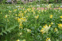 manoswelt, schlüsselblumenwiese im garten