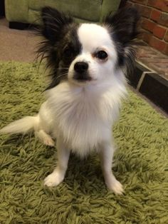 Vinny, and long haired white and black chihuahua. Experienced with studding. Good temper and ready to stud. Long Haired Chihuahua Puppies, Black Chihuahua, Teacup Chihuahua Puppies, Cute Chihuahua, Cute Puppies, Cute Dogs, Dogs And Puppies, Long Hair Chihuahua, Doggies