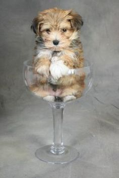 Adorable Morkie!