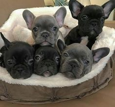French Bulldog Puppies #frenchbulldogpuppy