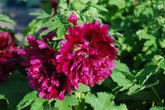 Hollyhock (Alcea rosea)