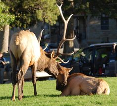 Tender moment at the Elk Rut in Yellowstone
