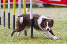 Dog agility competitions use a set number of agility tests to show how quickly your dog can perform given tasks. Training at home for competitions requires access to agility equipment. Purchasing agility equipment is expensive, leading many dog owners to seek a way to make their own equipment. If you wish to make your own agility equipment, you...