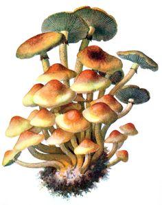 sulphur tuft (Hypholoma fasciculare)  Albin Schmalfuss, from Führer für Pilzfreunde (The mushroom lover's guidebook) vol. 1, by Edmund...