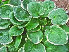 Thanks to Laura Jennings Barber for sharing this beautiful pic of her hostas! #hosta #garden #hostas www.hostasdirect.com Hosta Gardens, Garden Pictures, Barber, Plant Leaves, Flowers, Plants, Beautiful, Beard Trimmer, Florals