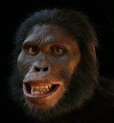 Australopithecus africanus was an early hominid, an australopithecine, who lived between ~3.03 and 2.04 million years ago in the later Pliocene and early Pleistocene.[2] In common with the older Australopithecus afarensis, Au. africanus was of slender build, or gracile, and was thought to have been a direct ancestor of modern humans.