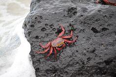 22.  El cangrejo de Darwin. Charles Darwin visitó las islas Galápagos en su viaje en el Beagle descubriendo la variabilidad biológica de las islas y su importancia en la formación de nuevas especies. #Fotoviajes