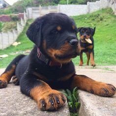 Rottweiler Breed, Rottweiler Love, Funny Dogs, Cute Dogs, Funny Animals, Puppy Tattoo, Beautiful Dogs, Mans Best Friend, Best Dogs