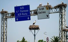 Storks nest on motorway signs outside Aveiro, Portugal . These storks are protected and they have to leave the nests where ever they are. Portugal, Motorway Signs, 25 May, Infinite Universe, Pictures Of The Week, The Way Home, Flora And Fauna, Street Signs, Pet Dogs