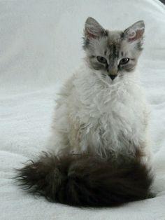 LePerm cat