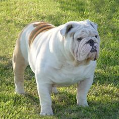 cerco bulldog inglese | Petpassion