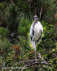 The return of the wood stork to South Florida River Of Grass, Stork Bird, Everglades National Park, Cypress Trees, Wildlife Conservation, Endangered Species, South Florida, Ecology, Bald Eagle