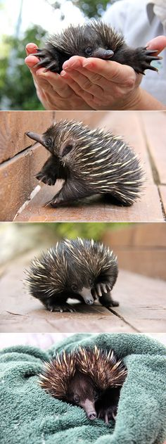 Bulldozers are no match for Newman the baby echidna.