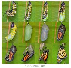 From caterpillar to butterfly. Beautiful pics.