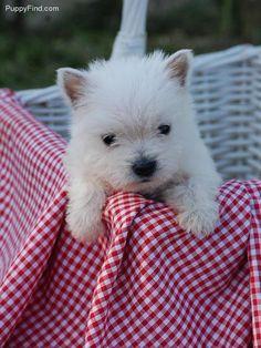 westie puppy I WANT ONE!!!