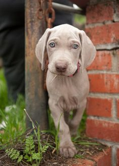 "ROCKVILLE WEIMARANERS - 2010 ""Gone with the Wind"" Litter"