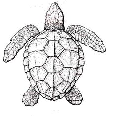 Sea Turtle, Realistic Sea Turtle Coloring Page: Realistic Sea Turtle Coloring PageFull Size Image