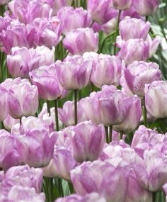 Tulip Shirely