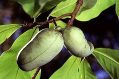 Pawpaw fruit photo