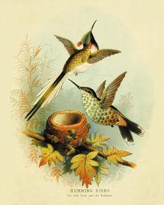 Hummingbirds Vintage Bird Print Nature print