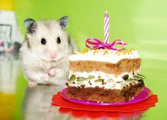 Happy birthday hammie Hamsters, Like Animals, Funny Animals, Happy 1st Birthdays, Happy Birthday, Animal Party, Party Animals, Animal Birthday, Celebration Cakes