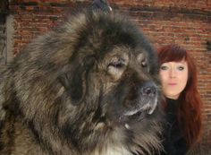 5 Dogs bigger than their owners, it is so big :)