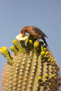 A Gila Woodpecker accidentally coats his bill with pollen as he pursues the nectar of a saguaro blossom. Each saguaro blossom is open for only one day, and the Gila Woodpecker's visits pollinate the saguaro, helping to ensure seedlings of these life-giving trees to the Sonoran desert.